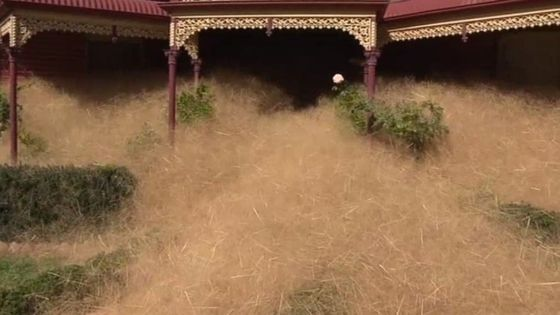 Australia town consumed by 'hairy panic'