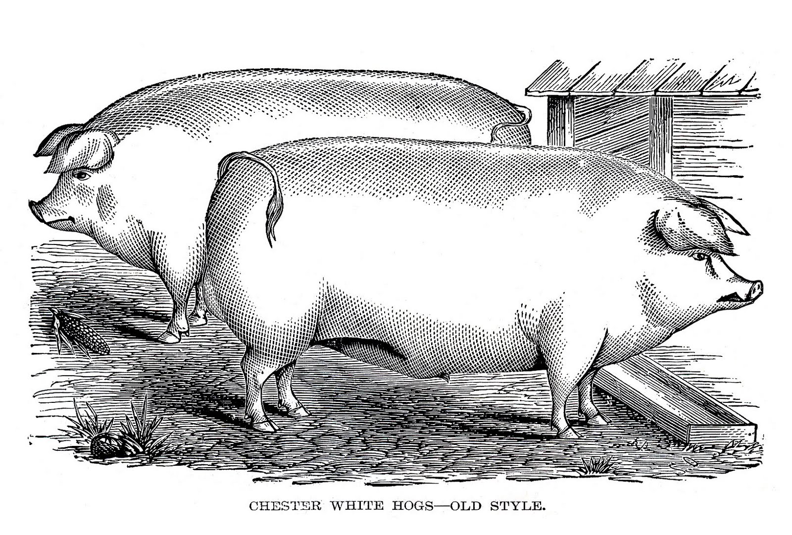 pigs vintage clipart - The History of Pork Scratchings